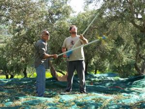 Olivenernte Kreta